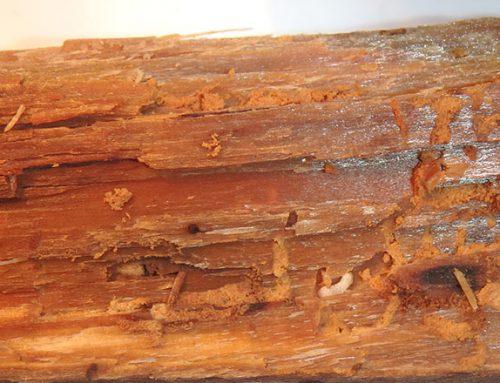 Houtworm: een rottig houtborend insect